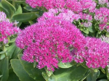 SEDUM Brilliancy