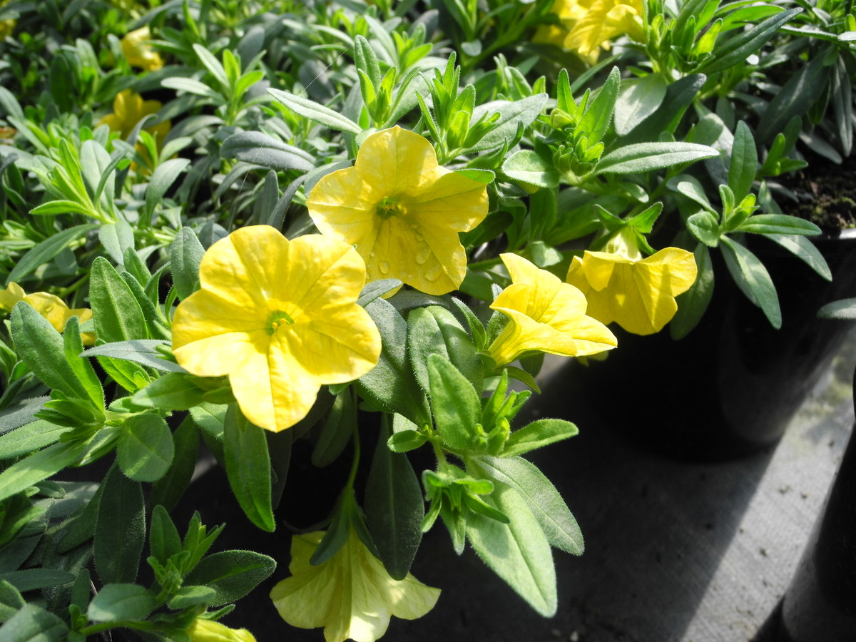 CALIBRACHOA Cruze Yellow