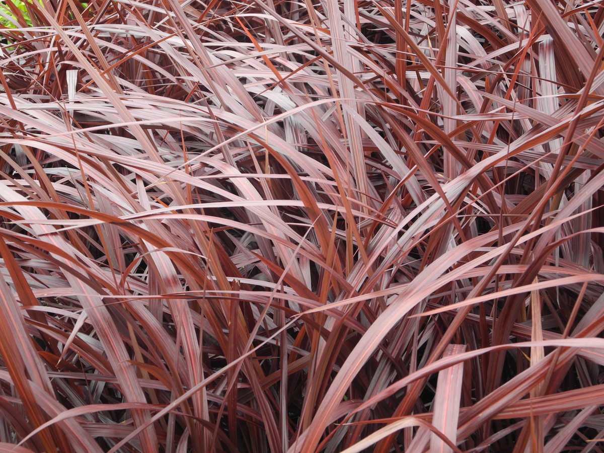 CORDYLINE Red Fountain - Licensed