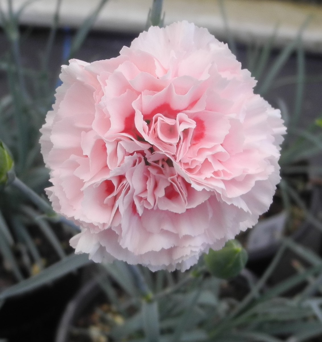 DIANTHUS Dancing Queen - Licensed