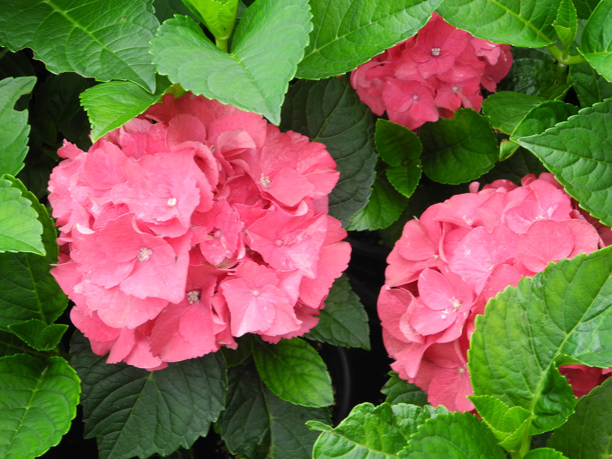 HYDRANGEA Red Dawn - Licensed