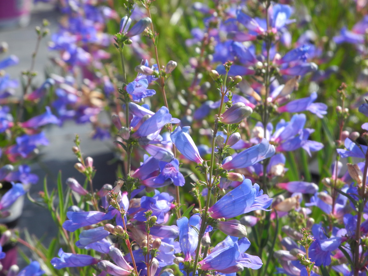 PENSTEMON True Blue