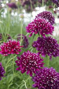 SCABIOSA Crimson Cloud - Licensed