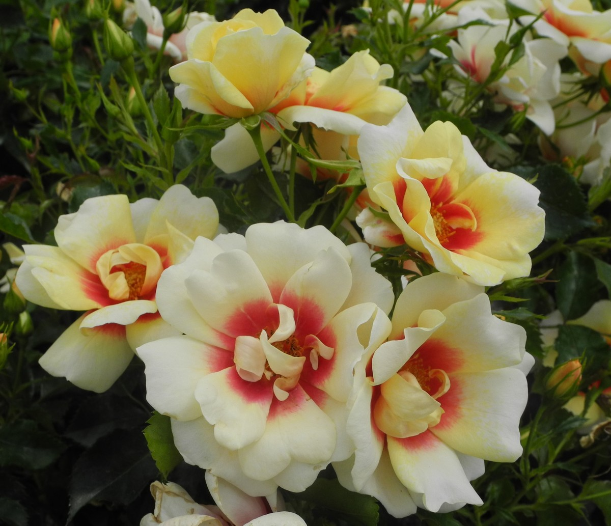SWEET SPOT ROSE Yellow -PVR