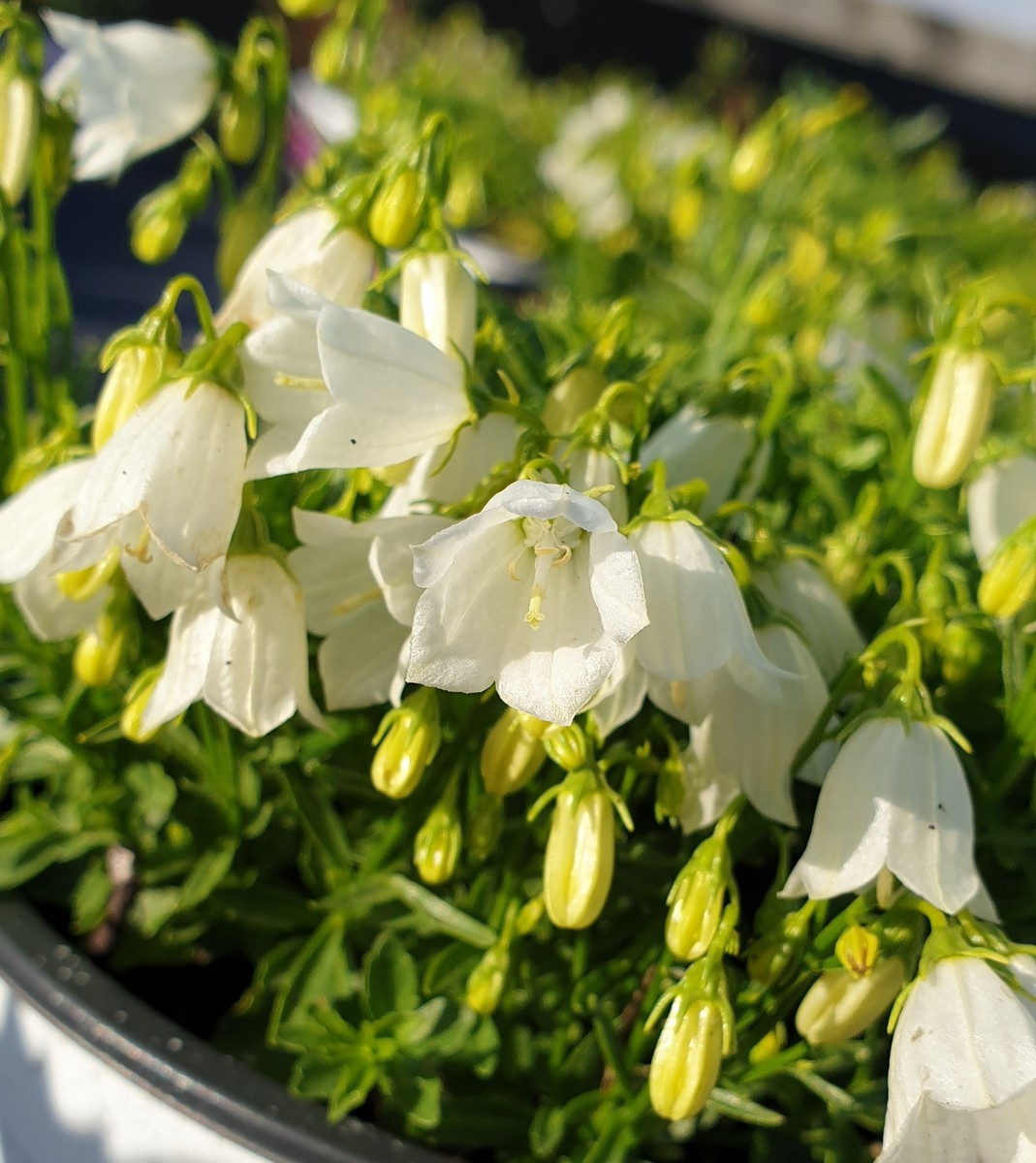 CAMPANULA Swinging Bells White