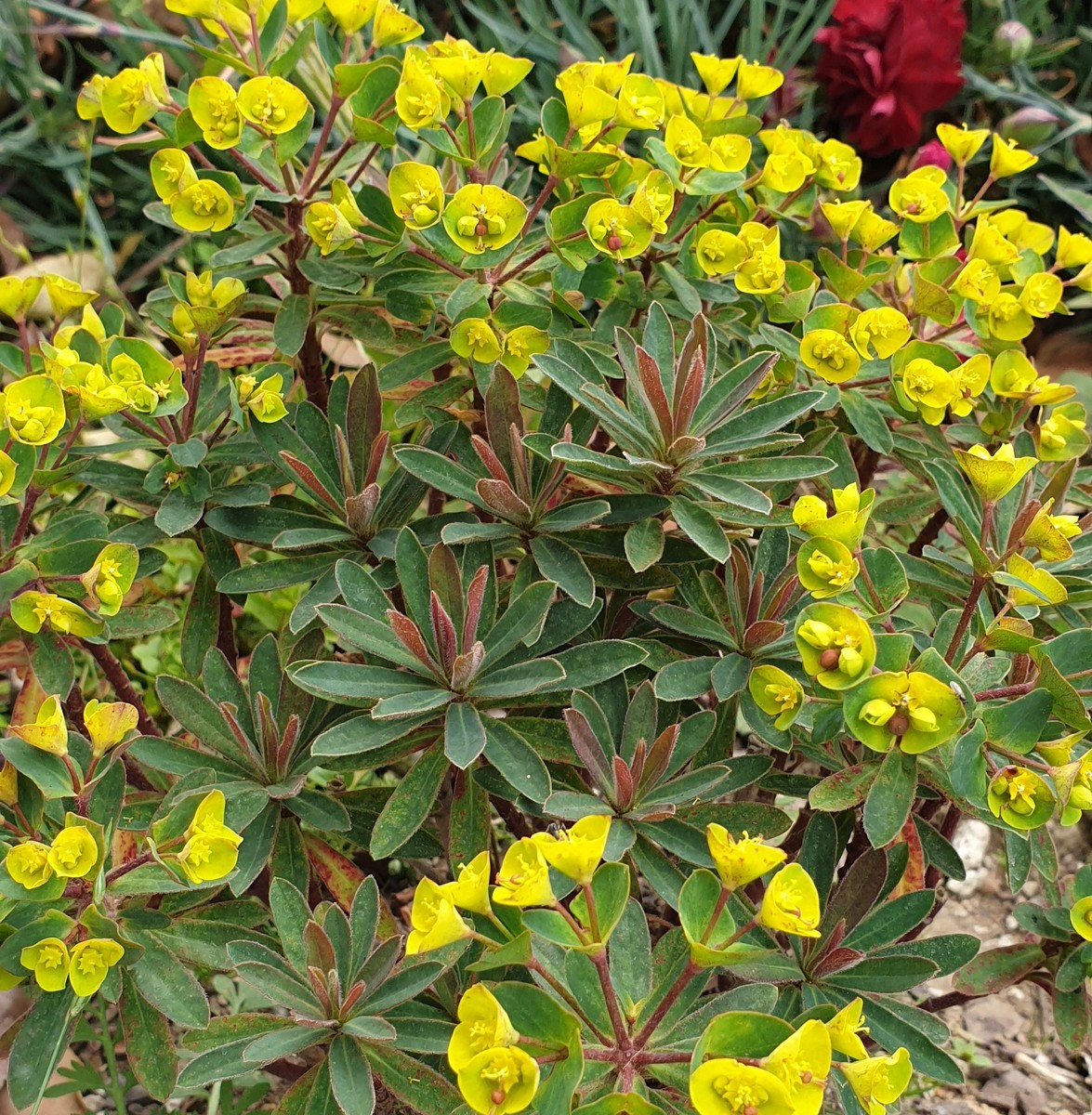 EUPHORBIA Ascot Lilliput - Licensed