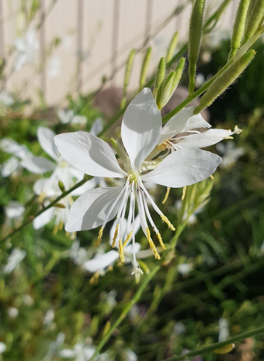 GAURA So White - Licensed