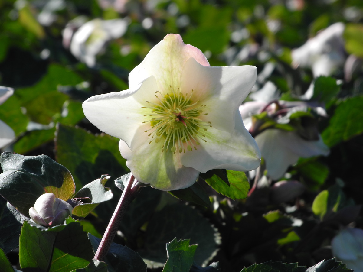 HELLEBORE Molly's White - PVR