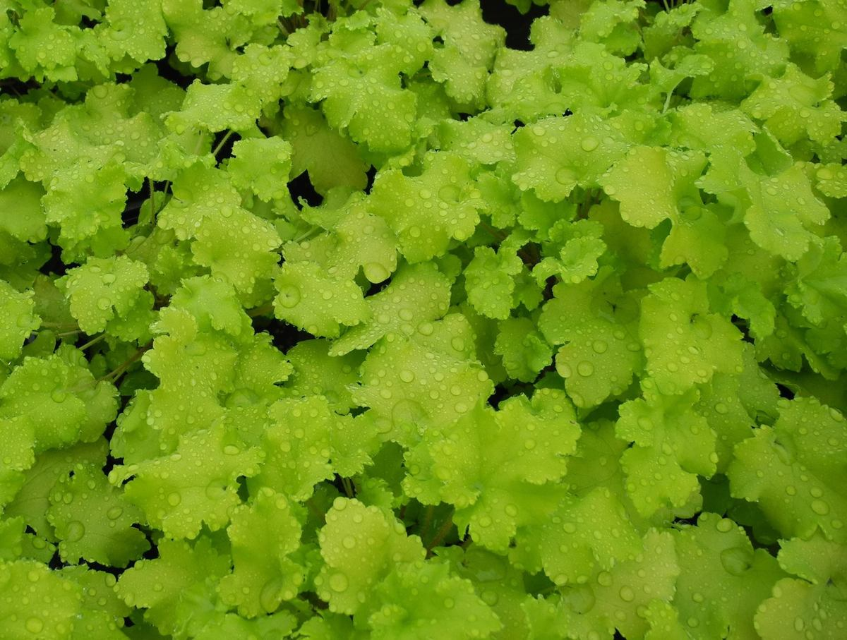 HEUCHERA Lime Marmalade - Licensed