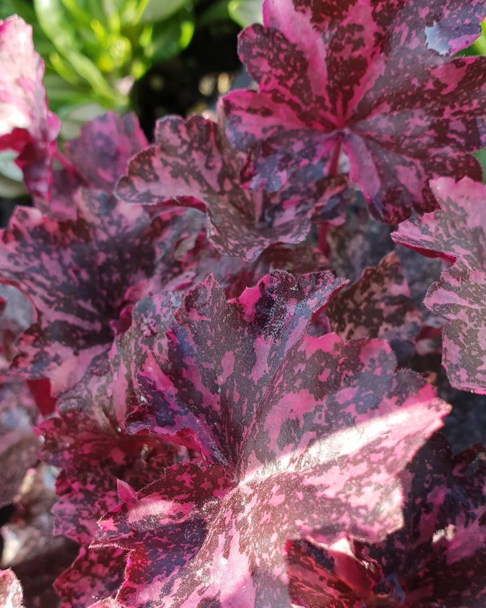 HEUCHERA Midnight Rose - Licensed
