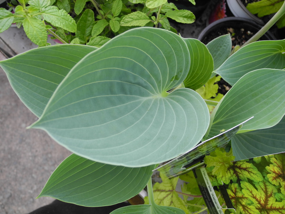 HOSTA Silver Knight - Licensed