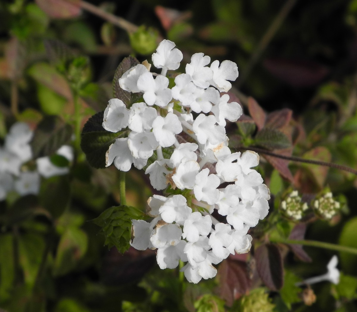 LANTANA White Lightening