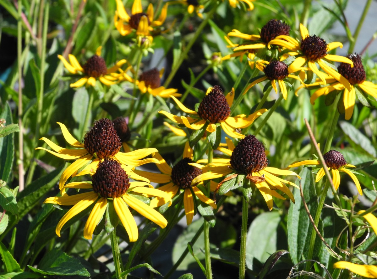 RUDBECKIA Little Goldstar - Licensed