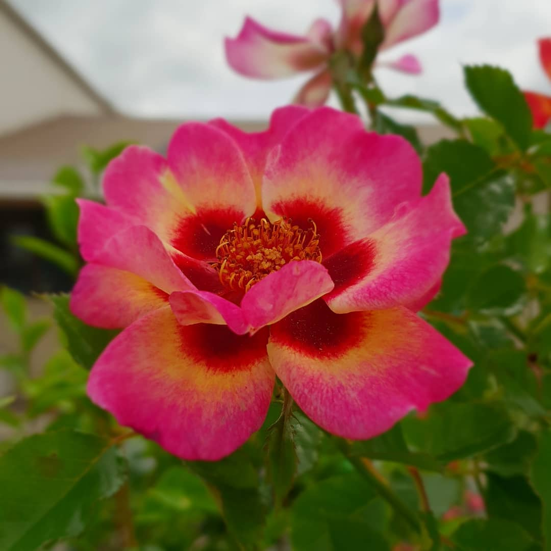 SWEET SPOT ROSE Calypso - PVR