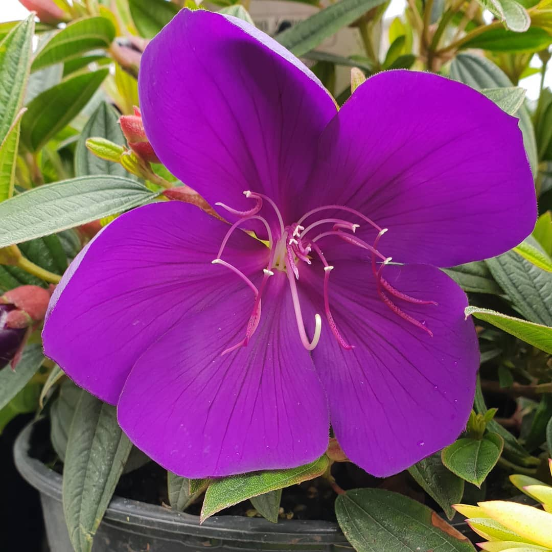 TIBOUCHINA Groovy Baby - Licensed