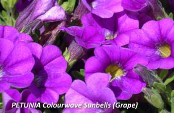 PETUNIA Colourwave Sunbells (Grape)